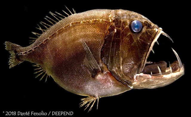 The fangtooth lives in the deep ocean, where it preys upon fish and crustaceans.Courtesy of Danté Fenolio/DEEPEND