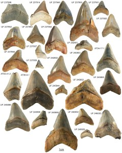 Megalodon teeth from several museum collections used for size and jaw placement comparisons.