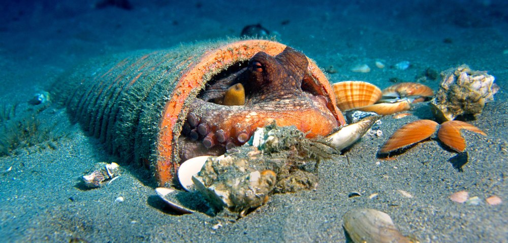 Based on new research, common octopuses do not seem to be picky when it comes to their living arrangements. Photo by Jose B. Ruiz/Minden Pictures