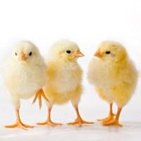 Chick Days @ Turf Center