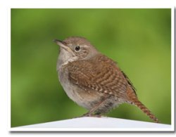 July: House Wren