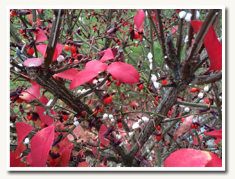 October Invasive: Burning Bush