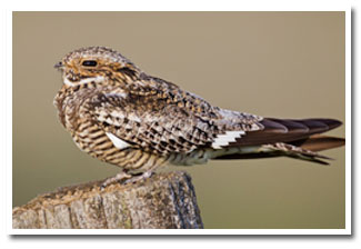 September: Common Nighthawk