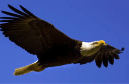 March: Bald Eagle