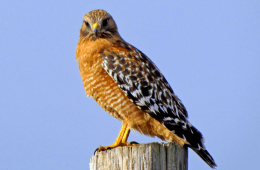May: Red-Shouldered Hawk
