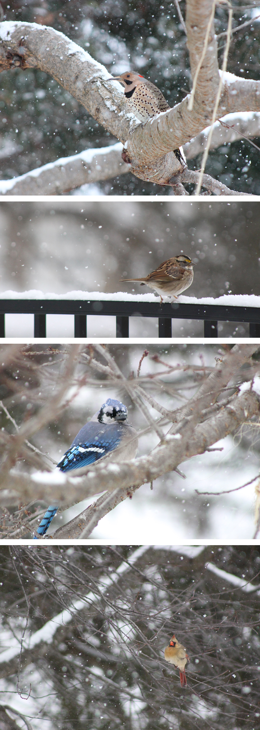 A snowy day and beautiful array of hungry birds. I'm trying not to be a bitter grouch all winter, but some days I swear I am cold-blooded and need my warming sun to survive. Maybe you can relate. Either way, these beauties bring some color and happiness to the dreary cold and for that I am thankful. Enjoy my little adventure in nature and bird photography.