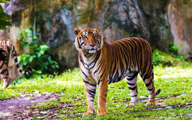 A bengal tiger in Annamalai Wildlife Sanctuary, Coimbatore.