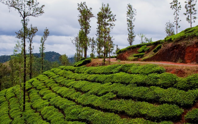 Tea bushes and shade trees in the hills of vythiri northern kerala, India