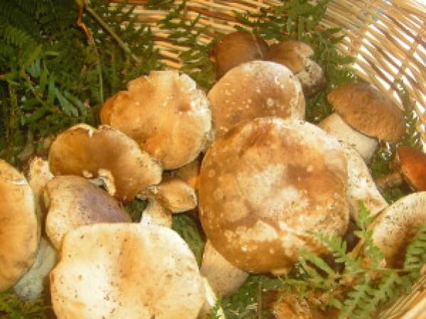 Funghi Porcini - fonte Wikipedia