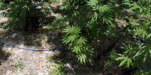 piantagione-marijuana