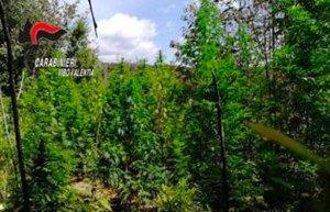 Scoperte dai carabinieri 5 piantagioni di canapa, 1.350 le piante