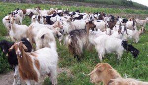 Pastore disabile derubato di 39 capre, partita colletta per un nuovo gregge