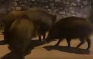 VIDEO | Cinghiali a spasso per le vie di Soverato