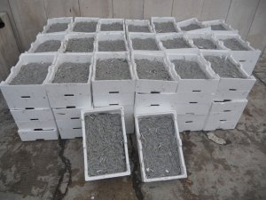 Sequestrati dalla Guardia Costiera circa 900 kg di novellame di sarda