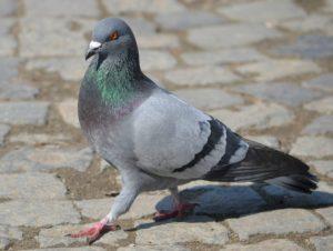 Usavano piccioni vivi come esca: condannati pescatori