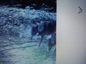 """Allarme lupi alle porte di Catanzaro. Le fototrappole li hanno """"immortalati"""""""