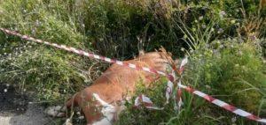 Squillace – Muore un cavallo in un incidente stradale