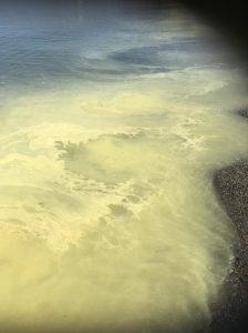 Colorazione giallastra su costa jonica è polline di pinacee