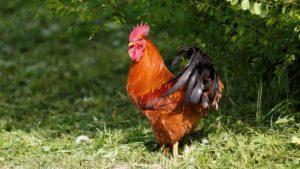 Australia: donna uccisa dopo essere stata attaccata dal suo gallo