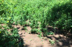 Sequestrate nel catanzarese due piantagioni di marijuana