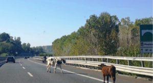 Mucche invadono la Salerno-Reggio Calabria, tragedia sfiorata
