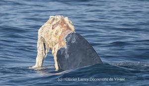 Codamozza, la straordinaria balenottera che ha fatto il giro del Mediterraneo senza avere la coda