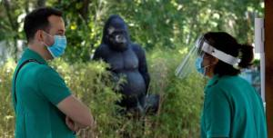 Gorilla attacca la guardiana dello Zoo di Madrid e le rompe entrambe le braccia, la vittima in gravi condizioni