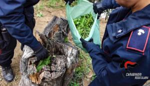 Coltivavano 1000 piante di canapa indiana, famiglia arrestata
