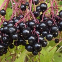 Recipe; Elderberry Liqueur