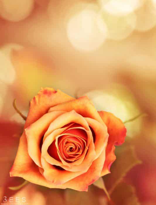 صور جميلة احلي ورد