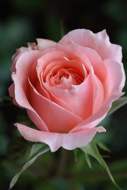صور اجمل الورود فى العالم جامدة