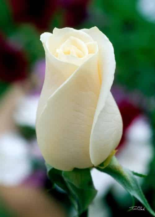 صور متنوعة عن الورد