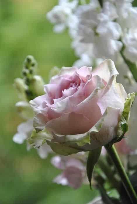 صور للفيس بوك عن الورد