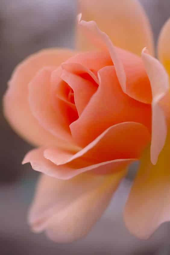 صور خقق عن الورد