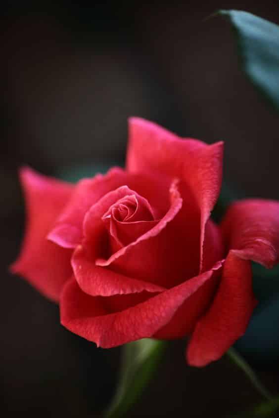 صور حلوة عن الورد