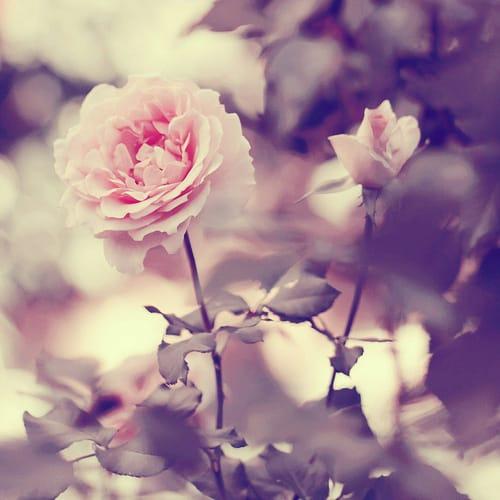 صور كشخه ورد جميل