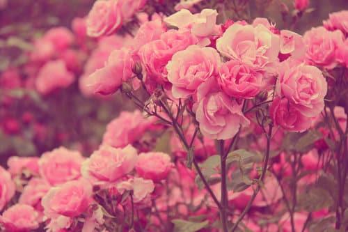 صور ورد جميل حلوة