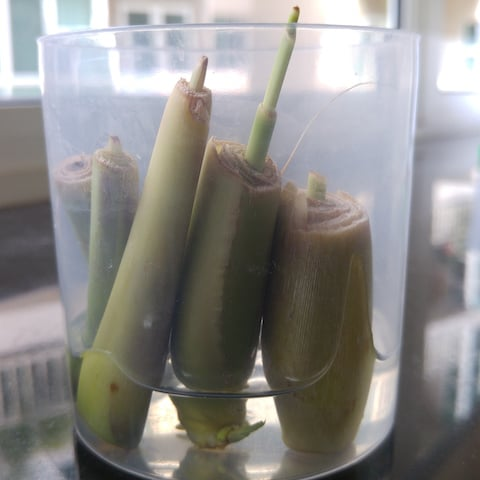 Lemongrass shoots regrow
