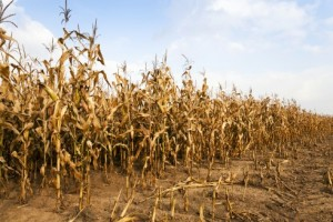 White corn climbs to record in SA as planting ends -Bloomberg