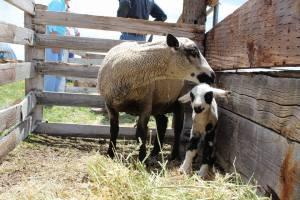 Yampa Valley lambs