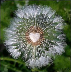 dandelion heart2