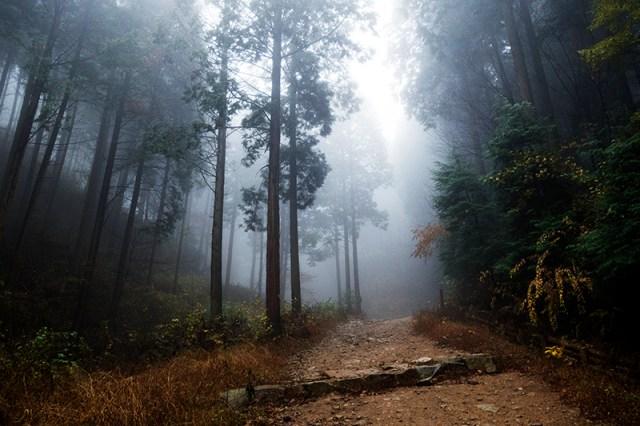 안개 속의 편백나무숲