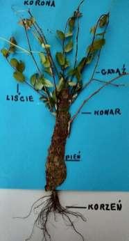 11 Budowa drzewa IGOR