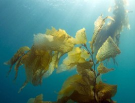 Thalasso therapy from seaweed