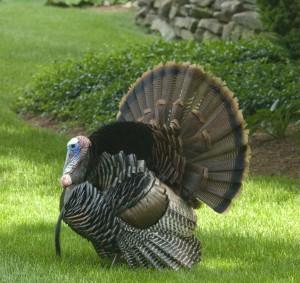 A Thankful Turkey