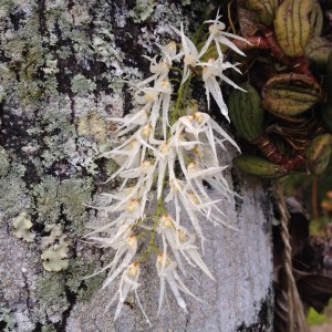 Dockrillia linguiformis has sprays of spidery white flowers in Spring