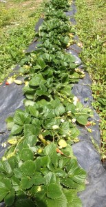 Growing strawberries under black plastic, Sept
