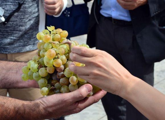 収穫されたばかりのZalema-サレマ種のブドウ。そのまま食すブドウよりワイン用のブドウは甘みが弱いのですね。
