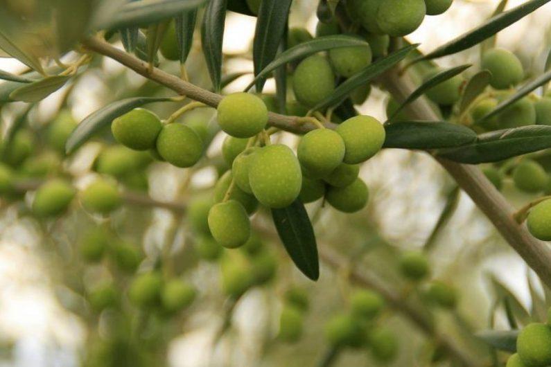 スペイン オリーブの木とオリーブの実