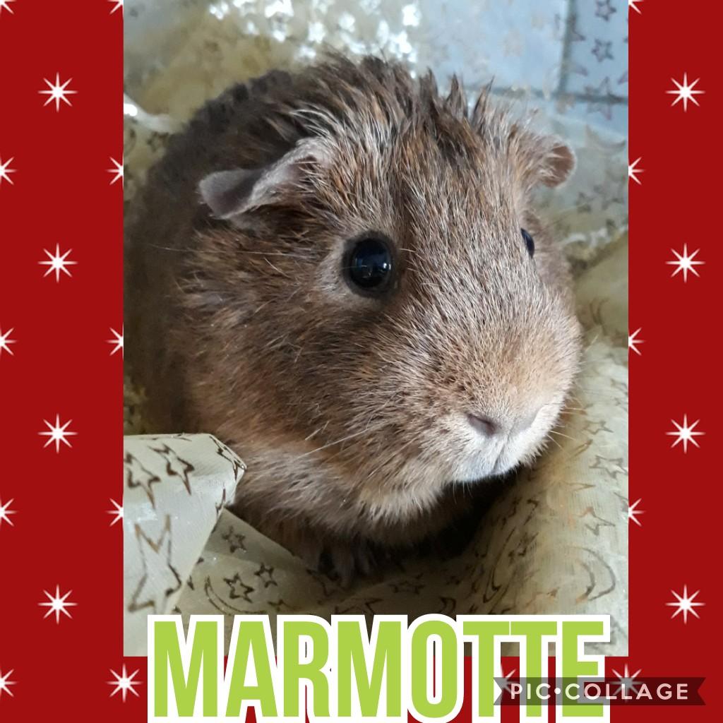 Marmotte & Yop ♂ cobayes – FA